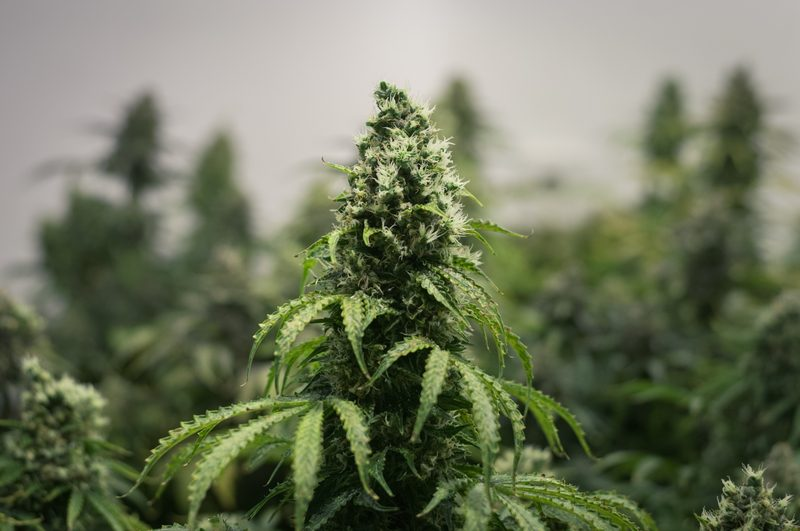Cannabis plante - Foto: dreamstime.com